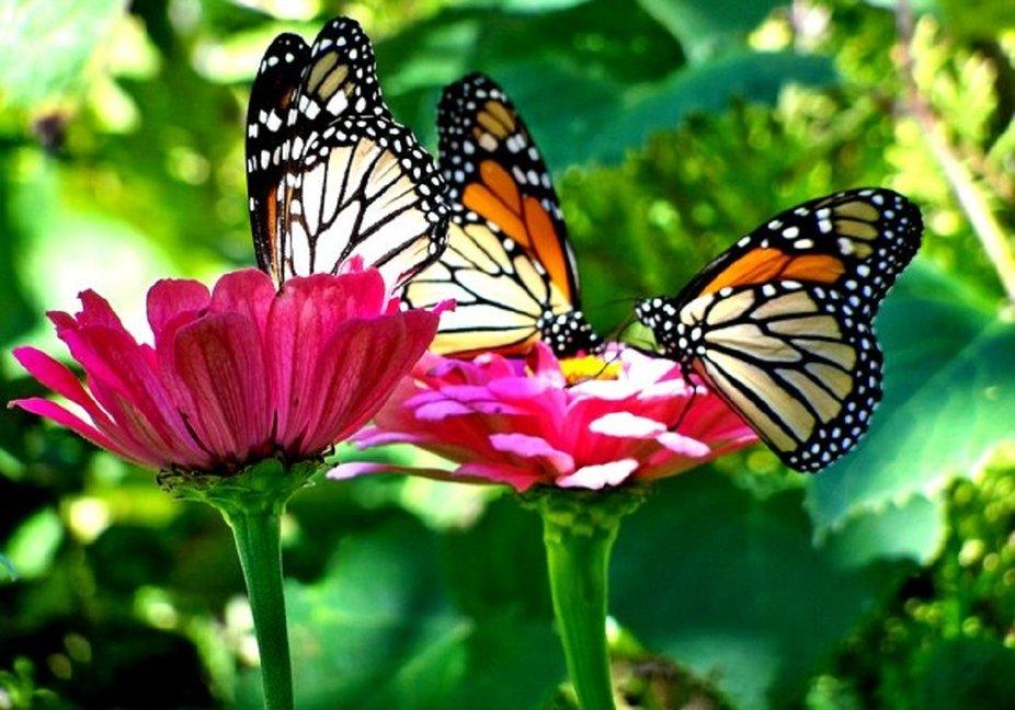 3 monarch on zinnias 1200 no. 2