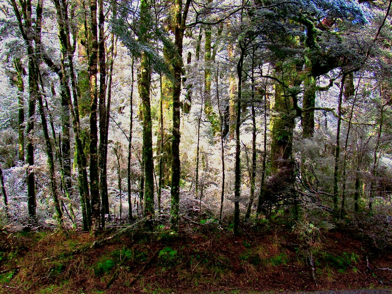 On the slopes of My Ruapehu is a native beech tree rain forest, the slopes are often curtained in rain showers and the trees grow close together and on the upper slopes are stunted due to the cold and snow in winter