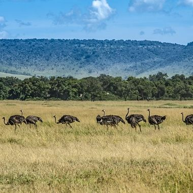 Ostriches Strolling