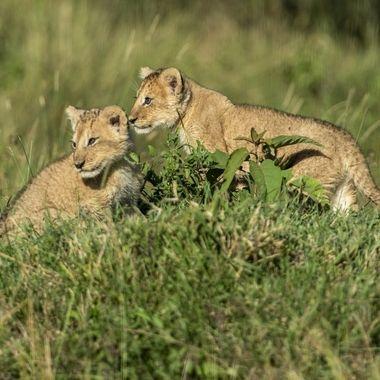 Lion Cub Pair
