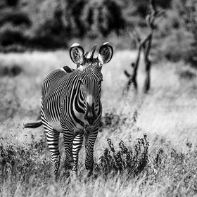 Lone Grevys Zebra B and W