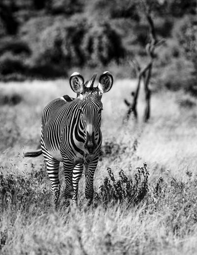 Lone Grevys Zebra B and W