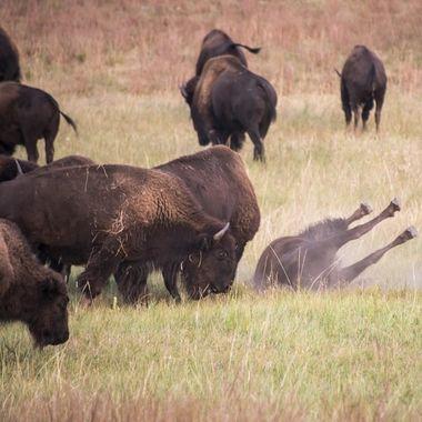 Rolling Bison
