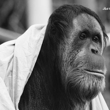 orangutan deep in thought BW