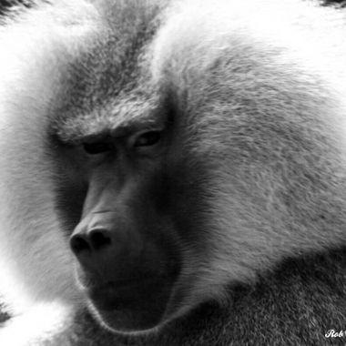 White Ape BW