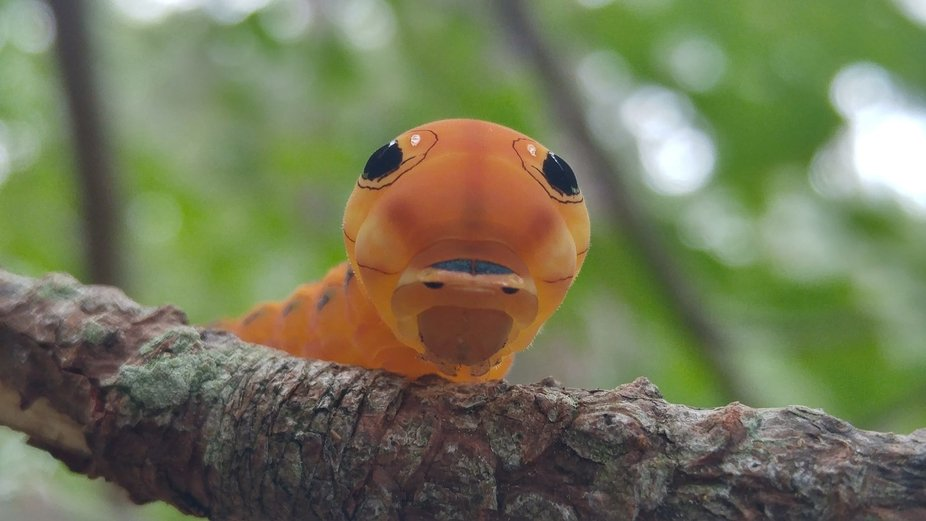 A Spicebush Swallowtail caterpillar who gave me a surprising and wonderful visit while I was look...