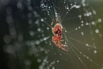 Orb Weaver in the rain