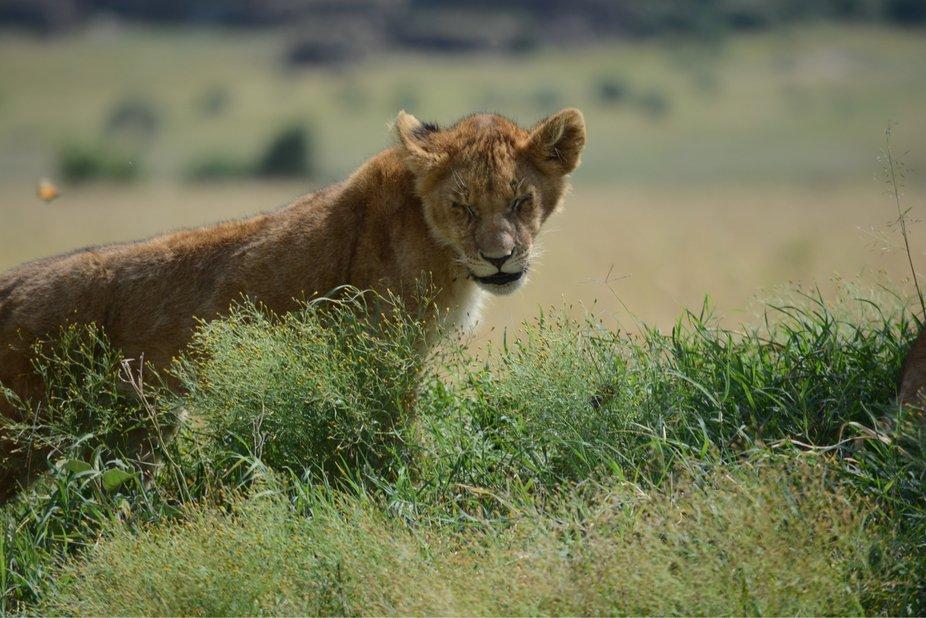 Expessive lion cub