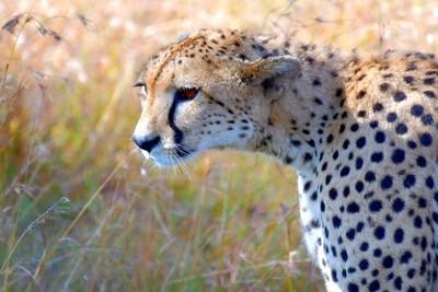 Riffel Africa Cheetah 5037