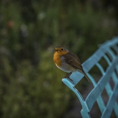 An attentive Robin perched at Portmeirion