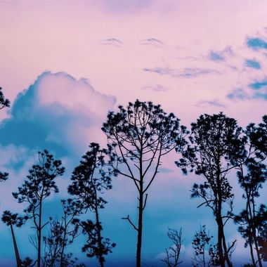 Florida Pines Against the Blue Sky