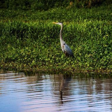Blue Heron in Marsh SJR