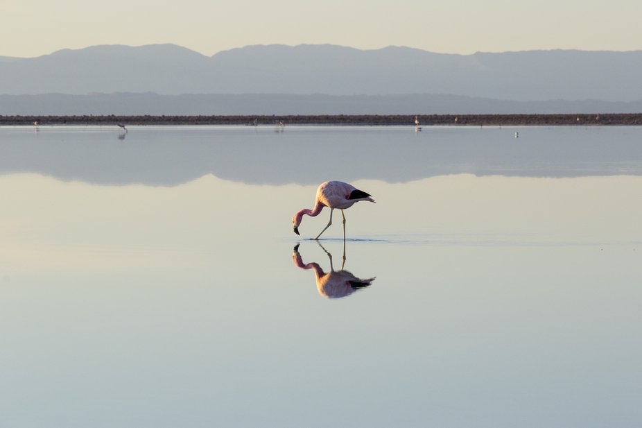 Lonely Flamingo in the salt lagoon, Atacama, Chile