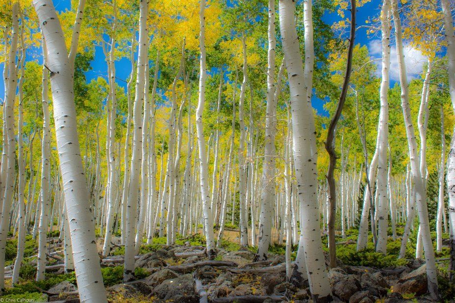 Pando is the largest living thing on earth.  A clonal colony of aspens over 100 acres large, in c...