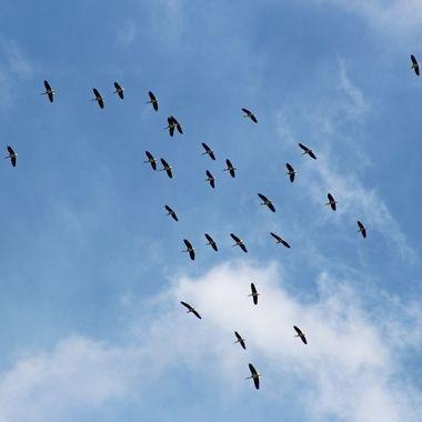 Ibis circling