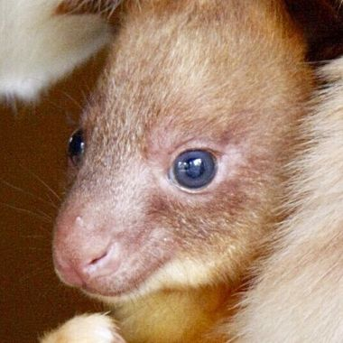 Tree Kangaroo Joey in pouch