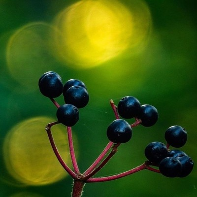 Mapleleaf Viburnum or dockmackie berries with evening bokeh.  #trailsend #mapleleafviburnum #bokeh #eveninglight #sunset #bokehphotography #outthebackdoor #backyardnature #canon_photos #canonphotography #top_macro #ig_eternity #naturyst #naturalnewyork #z