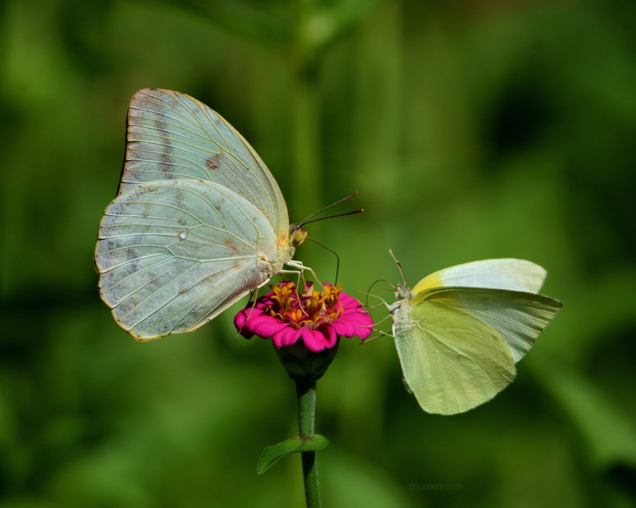Large orange sulphur and lyside sulphur sharing a small pink zinnia flower.