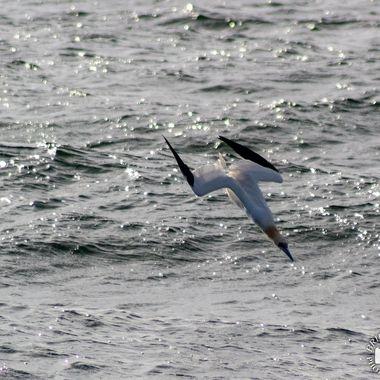 gannet c-4706