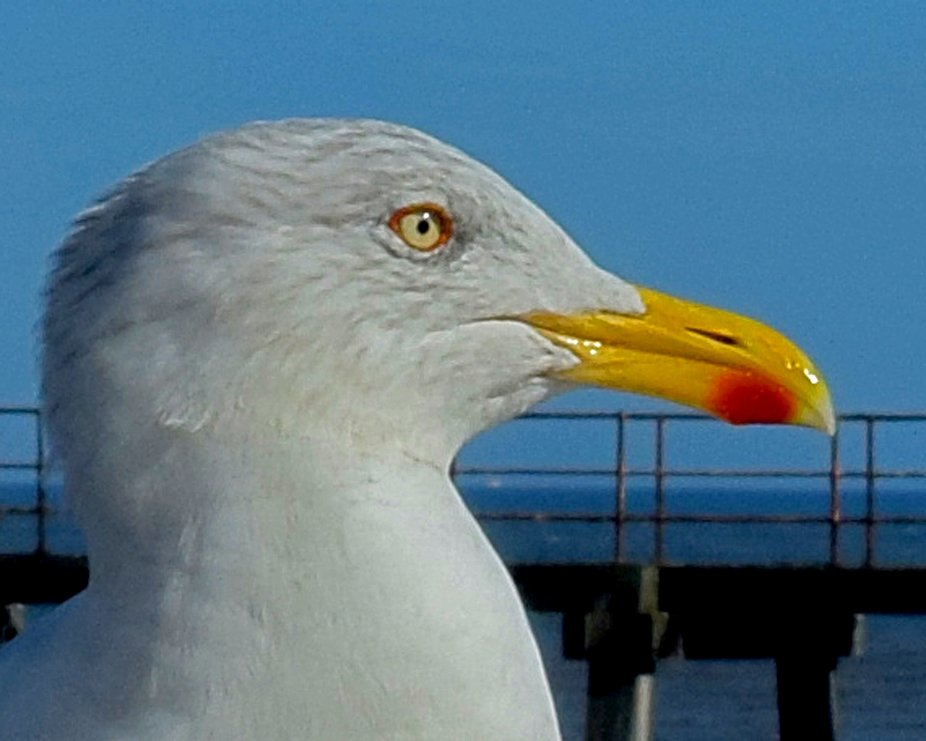 Portrait of a gull on Whitby pier.