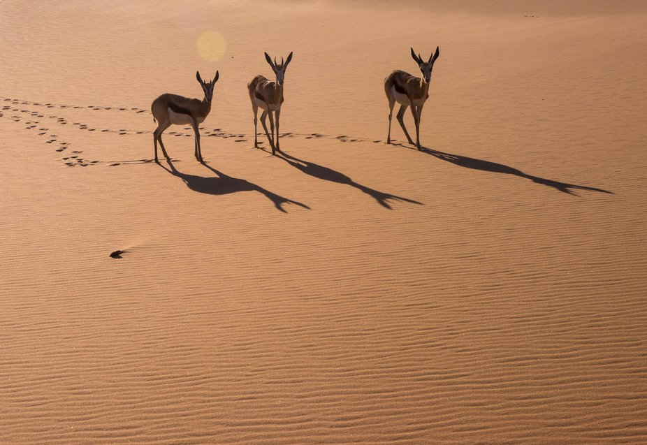 Anticipation and patience rewarded me.  Initially these springbok were huddled together their sha...