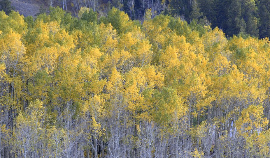 The tree tops are still gold with some hint of contrasting greens. The forest floor has collected the first of the aspen leaves and soon, these will join the cacophony of colors.