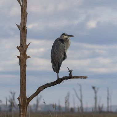 Great Blue Heron posing -- the  morning light and the sky -as well as the tree he was posing on - just struck me as the perfect backdrop for him.