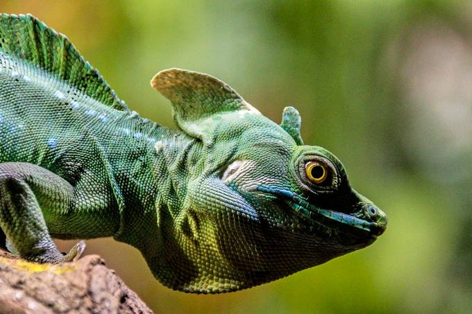 Basilisk by robertarmstrong_2615 - Reptiles Photo Contest