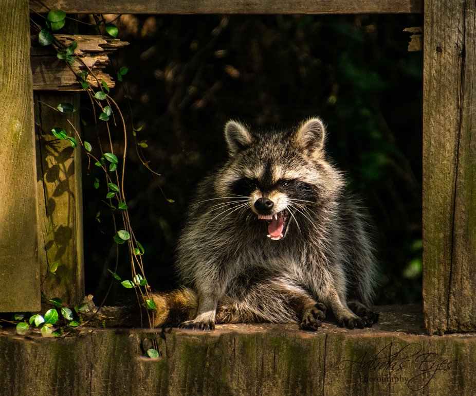Actually, this raccoon is yawning. It sure looks like she is angry. A favorite shoot I said I wan...