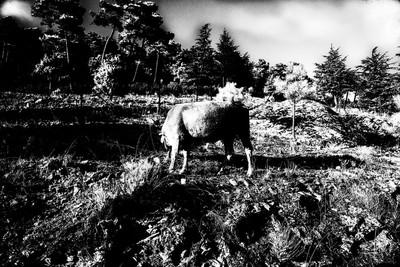 COW Noise