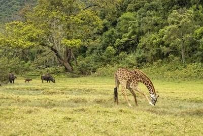 The Giraffe and the Cape Buffalo