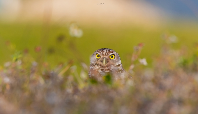 The Stare by agnish - Beautiful Owls Photo Contest
