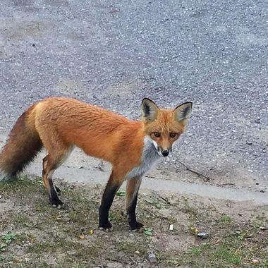 Town fox