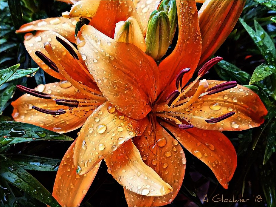 These are lilies for sale outside our local grocery store. They had recently been well-watered by...