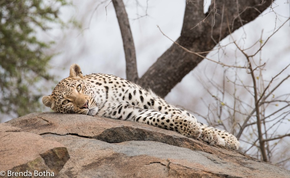 Young female leopard relaxing-0185