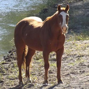 Frisco River horse
