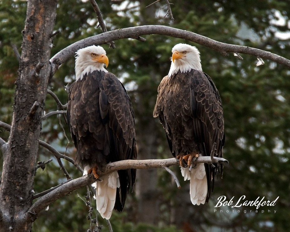 Bald eagles mate for life.  I photographed this pair when my wife pointed them out to me.  I dedi...