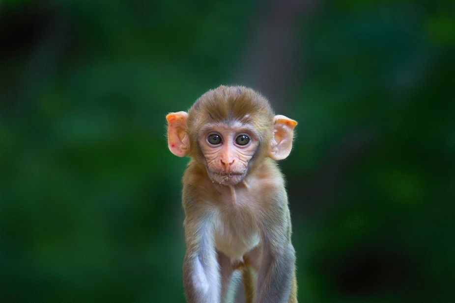 Rhesus macaques are Asian, Old World monkeys. Their natural range includes Afghanistan,  India, S...