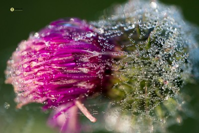 Scottish Thistle flower coverd in dew and spiderweb close up, Oostvaardersplassen