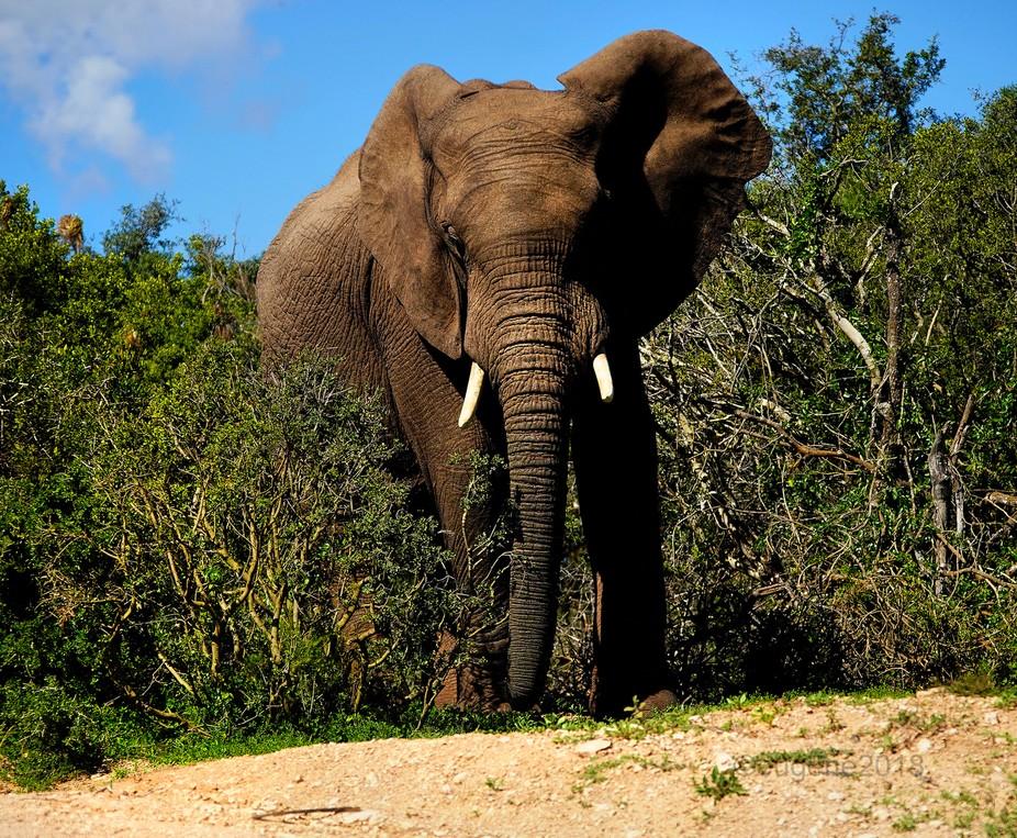 Addo African Elephant aawl e DSC02458