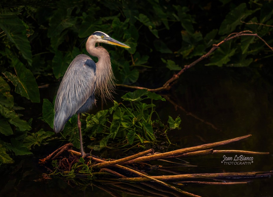 Blue Heron at dusk. This image was captured at the Aligator Farm in Orlando Florida. The Blue Her...