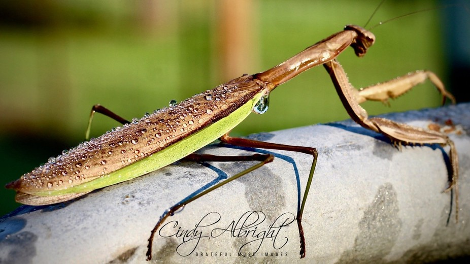 An early morning present, finding a Praying Mantis covered with Dew.