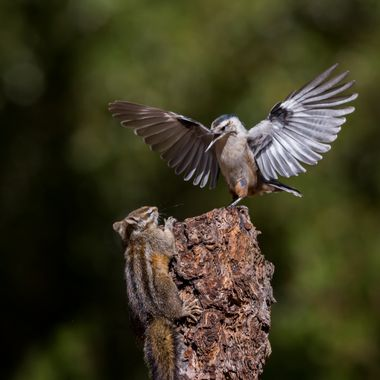 There is no question who won this bout.  Lucky for the chipmunk, it was not a kestrel or a hawk,,,