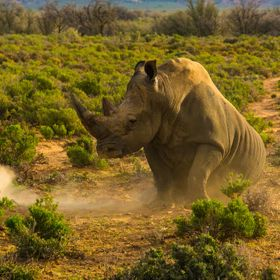 This rhino was none too happy with our proximity.  By pawing the soil, he was sending us a clear message of his displeasure.  At the sound of his...