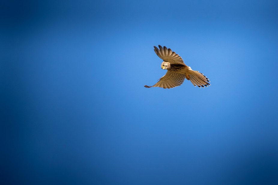 Kestrel flying in a park with beautiful blue sky in the background