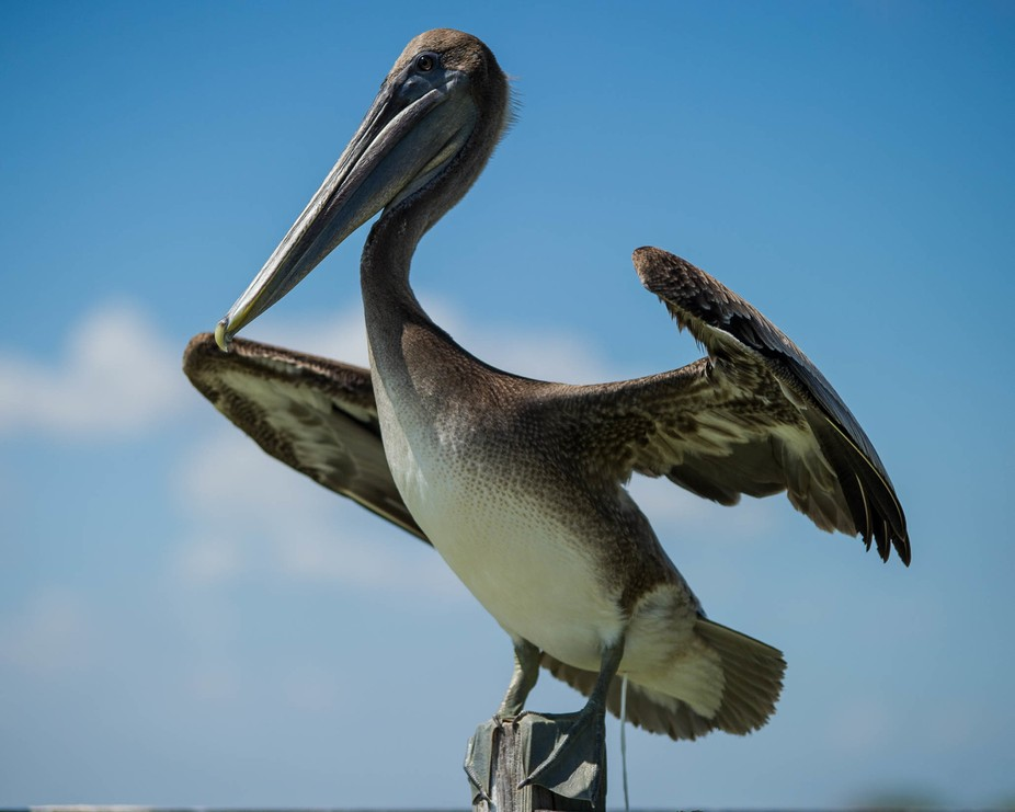 Brown Pelican Texas Coast