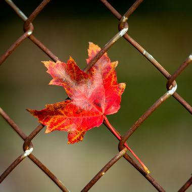 Fall Trap