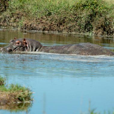 Lone Hippo