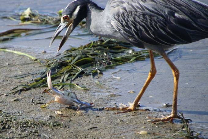 Yellow-crowned Night Heron with Crab