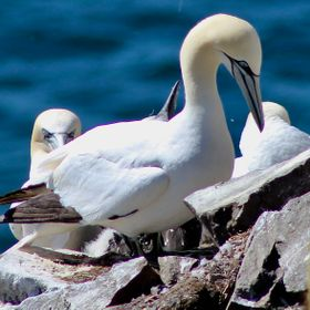 The Northern Gannets at Cape St. Mary's Natural Bird Sanctuary